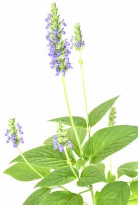 Chia Pflanze